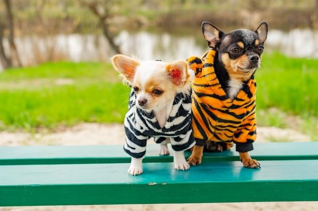 Hunde in frühlingskleidung. zwei kleine chihuahua-hunde auf der bank. niedliche haustiere im freien. hunde