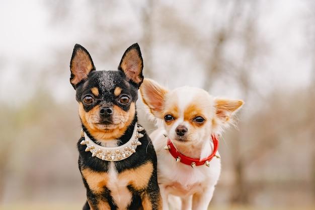 Hunde mit halsbändern. zwei kleine chihuahua-hunde auf der bank. niedliche haustiere im freien.