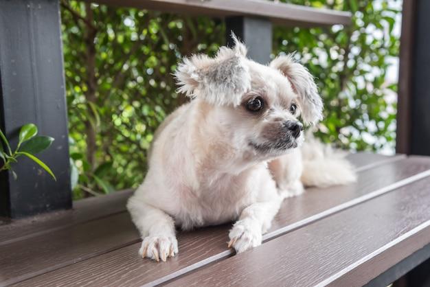 Hunde so nette mischzucht mit shih-tzu, pomeranian und pudel, die auf stuhl sitzen