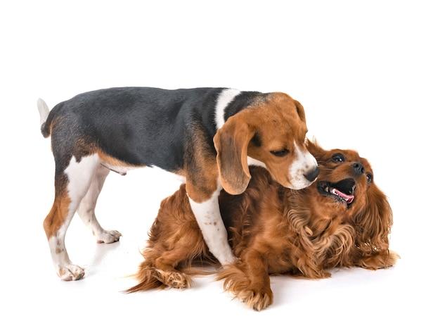 Hunde spielen im studio