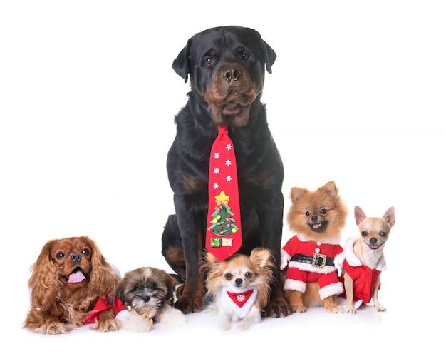 Hunde und weihnachten