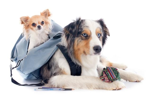 Hunde zur schule