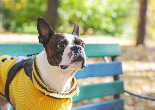 Hundeboston-terrier in der gelben strickjacke, die auf bank in der gleichheit sitzt