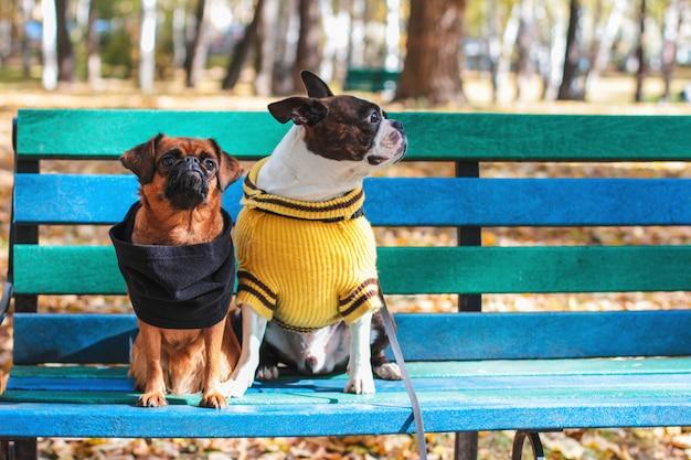 Hundefreunde sitzen auf einer bank im herbst park, boston terrier und sm