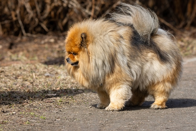 Hundehaustier-chow-chow