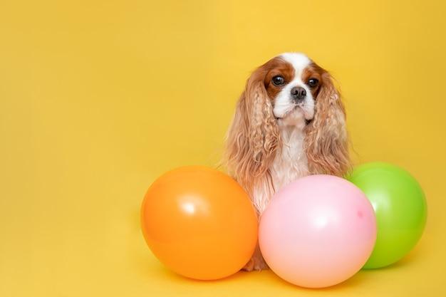 Hundekavalier könig charles spaniel sitzen zwischen luftballons.