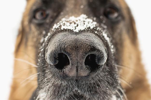 Hundenase nah oben. schneeflocken auf der nase der deutschen schäferhunde.
