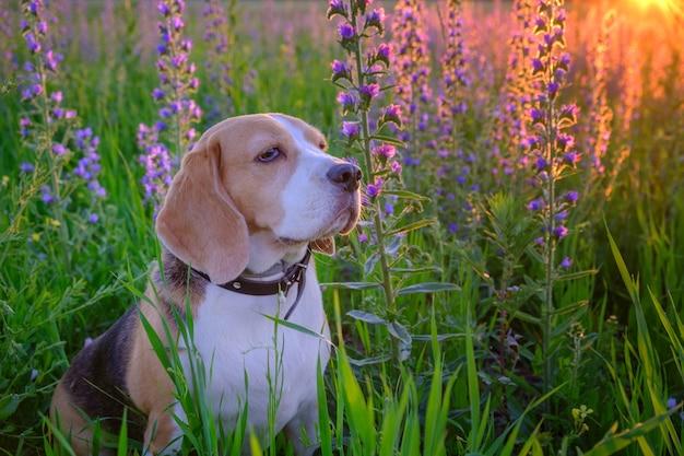 Hundeporträt beagle auf einem sommerspaziergang bei sonnenuntergang