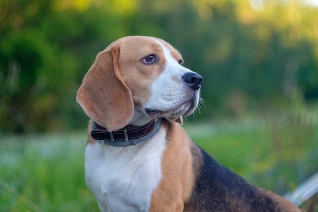 Hundeporträt beagle im grünen gras