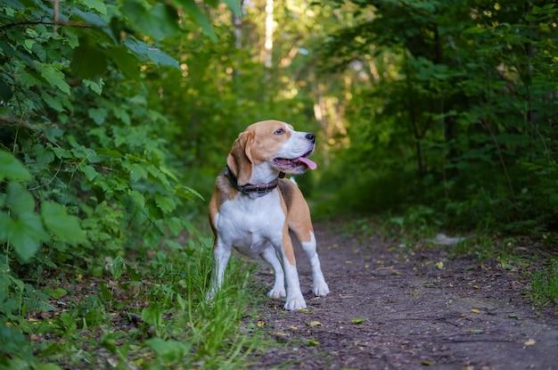 Hundeporträt beagle im wald am abend bei sonnenuntergang