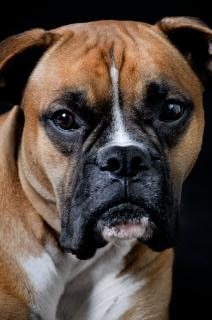 Hundeportrait schwarz