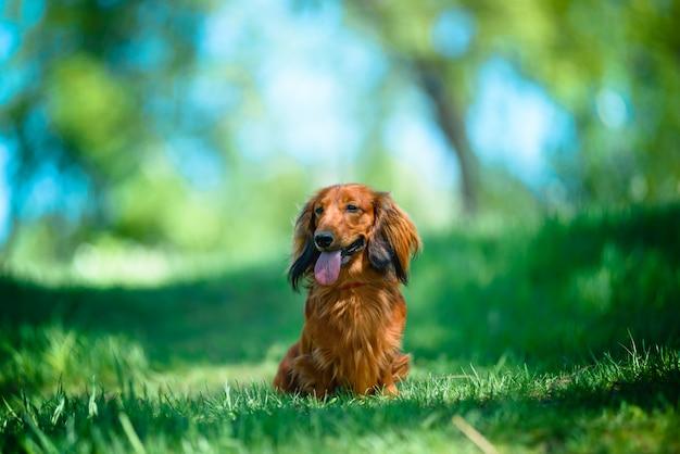 Hunderasse-dachshund im wald in einer sonnigen reinigung.