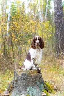 Hunderasse english springer spaniel walking im herbst wald cute haustier sitzt in der natur im freien.