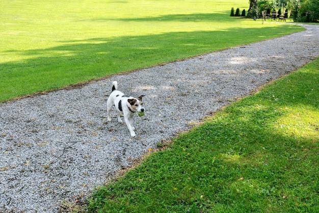 Hunderasse jack russell geht zum besitzer mit dem ball im maul in den park
