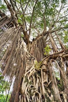 Hundertjährige baumkrone mit riesigen lianen