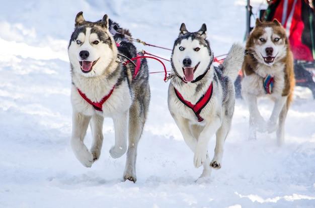 Hundeschlitten schlittenhundeteam des sibirischen huskys im geschirr.