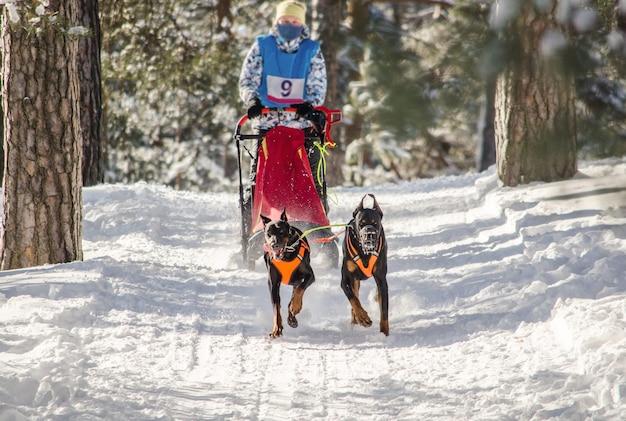 Hundeschlittenrennen. frauenmusher und schlittenhundhundeteam
