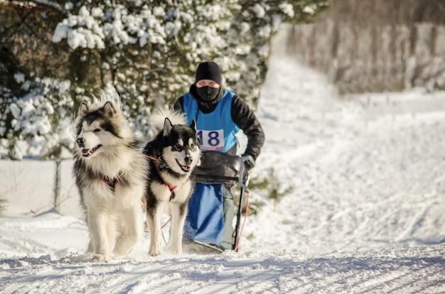 Hundeschlittenrennen. mann musher und schlittenhund hund team