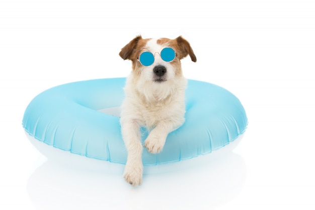 Hundesommerurlaub. jack russell dog sunbathing mit blue air float pool mit sonnenbrille im urlaub.