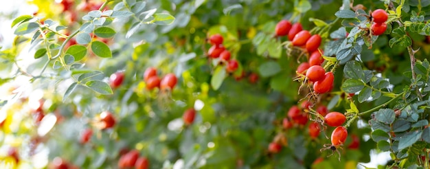 Hundsrose früchte (rosa canina) in der natur. rote hagebutten auf büschen mit unscharfem hintergrund