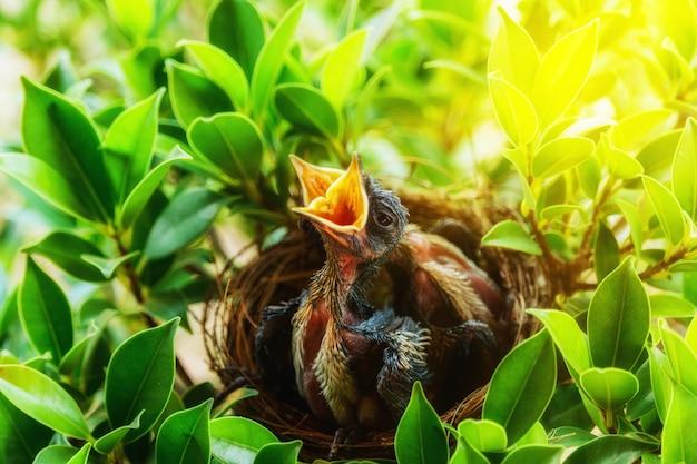 Hungrige babyvögel in einem nest, das den muttervogel kommen und ihnen füttern möchte