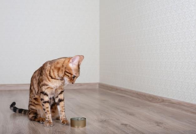Hungrige bengalkatze betrachtet futter mit nassem katzenfutter.