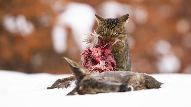 Hungrige europäische wildkatze, die sich im winter vom schnee ernährt