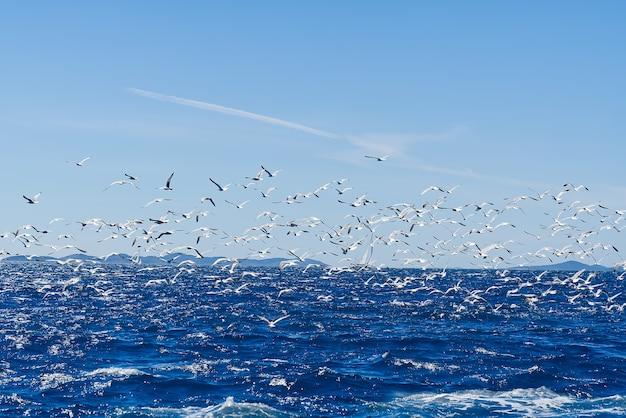 Hungrige möwenvögel kämpfen um fischschwarm von möwen, die hinter dem schiff über das meer fliegen, um kleine ...