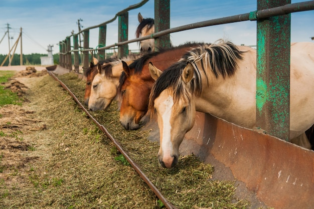 Hungrige pferde im stall