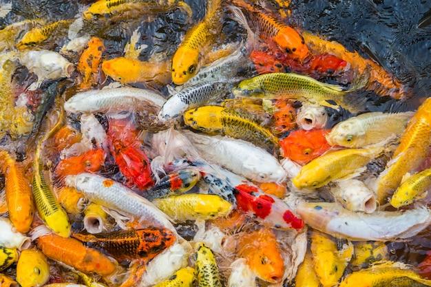 Hungriger bunter koi fischhintergrund
