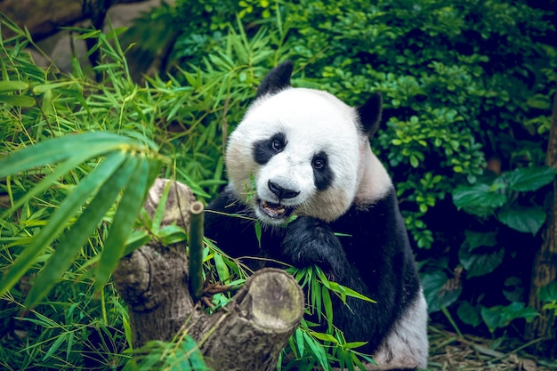 Hungriger riesenpandabär, der bambus isst