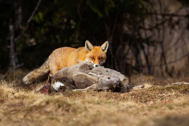 Hungriger rotfuchs, der auf feld in der herbstnatur füttert.