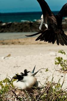 Hungriges großes fregattvogel (fregata-minderjähriges) küken in seinem nest, das auf lebensmittel, darwin-bucht, genovesa-insel, galapagos-inseln, ecuador wartet