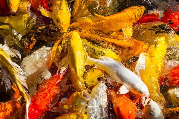 Hungry koi carps fisch japanische schwimmen (cyprinus carpio) schöne farbe hintergrund