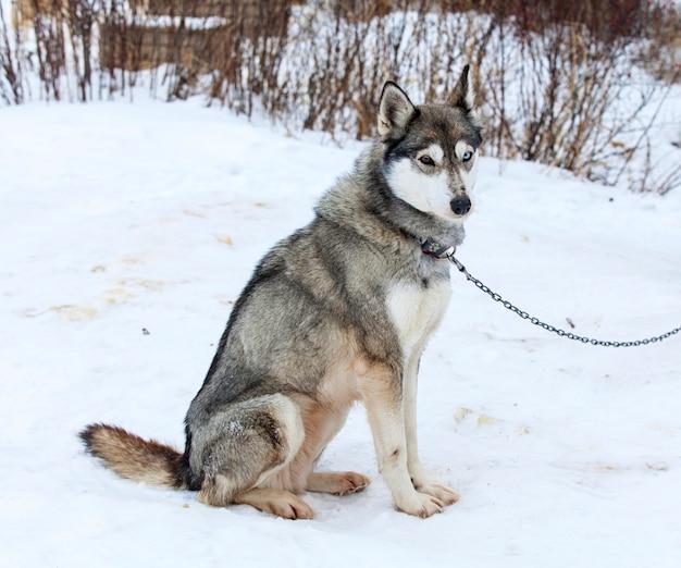Huskies im kindergarten für hunde im winter