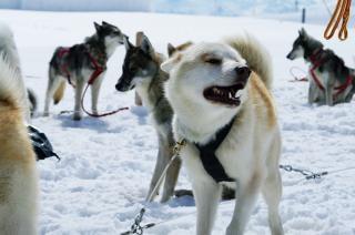Huskies, reiten