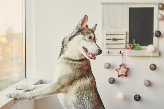Husky auf hintergrund des neuen jahres.