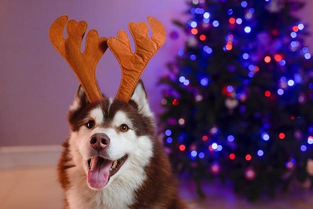 Husky-hund, der rentier-stirnband verwendet, feiert die feiertage mit beleuchtetem weihnachtsbaumhintergrund