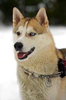 Husky hund für einen spaziergang im park