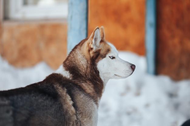 Husky hund. heiseres hundeporträt der wilden schönheit siberiab. winter hintergrund