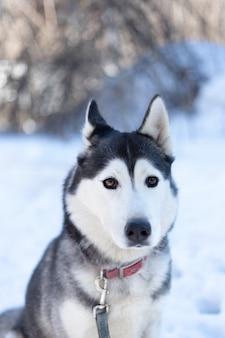 Husky hund liegt im schnee