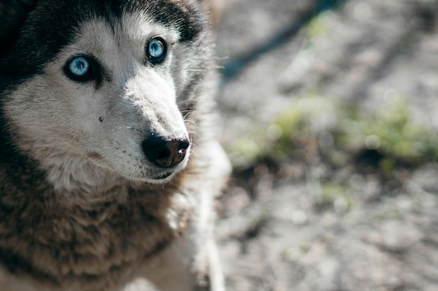Husky hund schaut weg mit einem auffälligen blauen auge