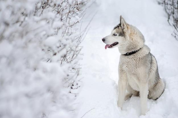 Husky hund sitzt im schnee.