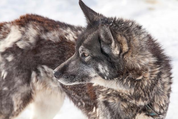Husky-hund während der häutung im hundezwinger