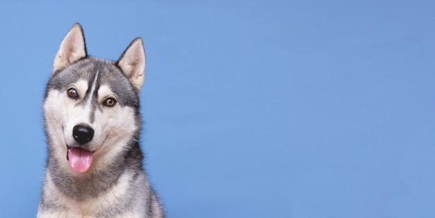 Husky-hundeporträt, das mit kopienraum aufwirft