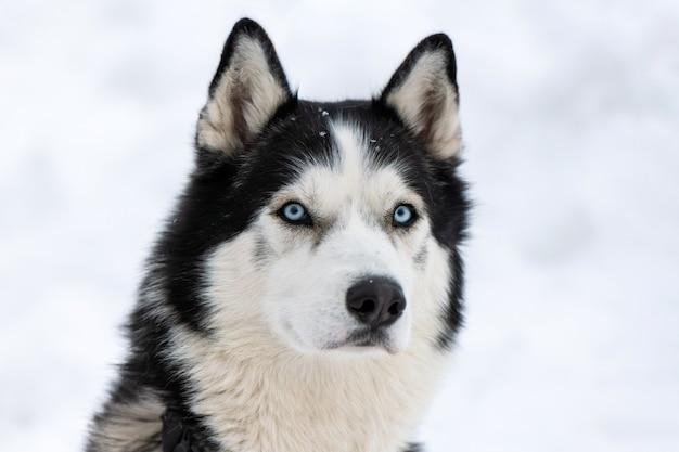 Husky-hundeporträt, schneebedeckter winterhintergrund. lustiges haustier beim gehen vor dem schlittenhundetraining.