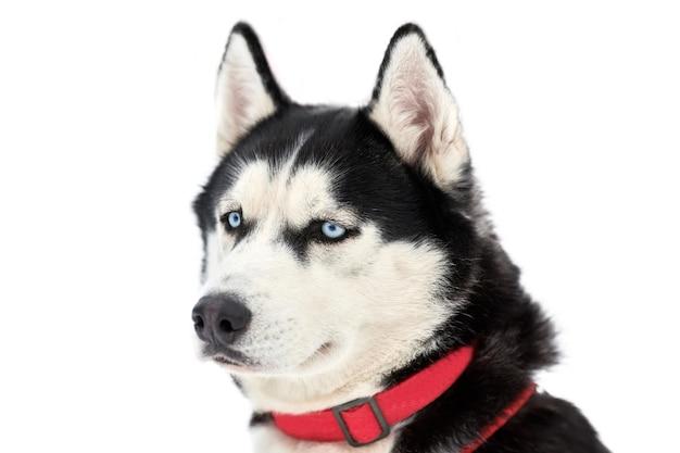Husky schlittenhund, der draußen steht