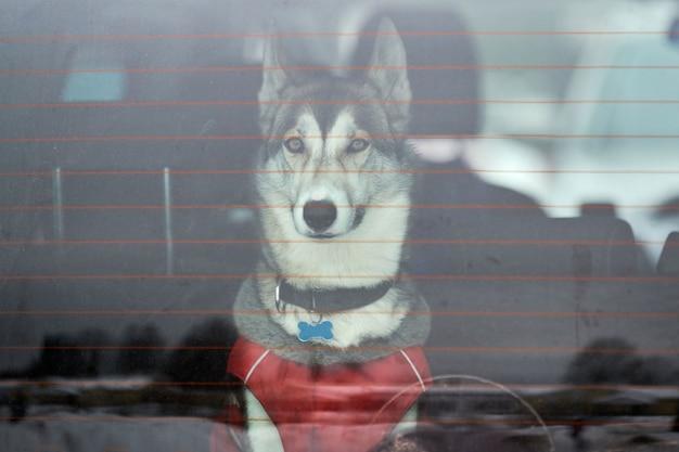 Husky schlittenhund im auto