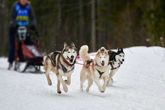 Husky schlittenhund mushing im winter