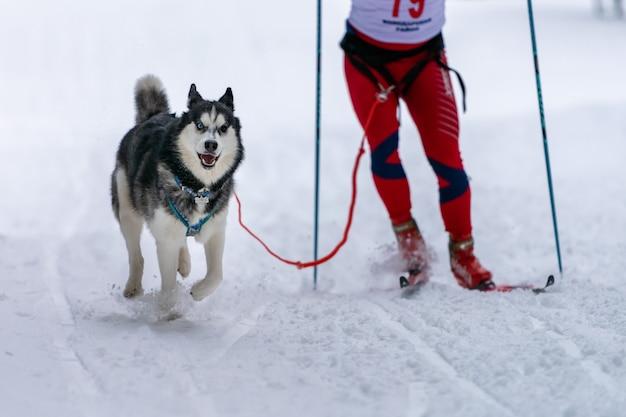 Husky schlittenhund ziehen hundefahrer